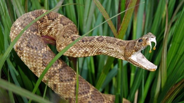 Image result for western diamondback rattlesnake wallpaper